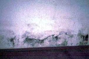 FUNGUS AND MOLD GLOSSA... Cladosporium Mold On Wall